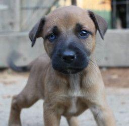 Adopt Sienna On Dogs Shepherd Dog Labrador Retriever Mix