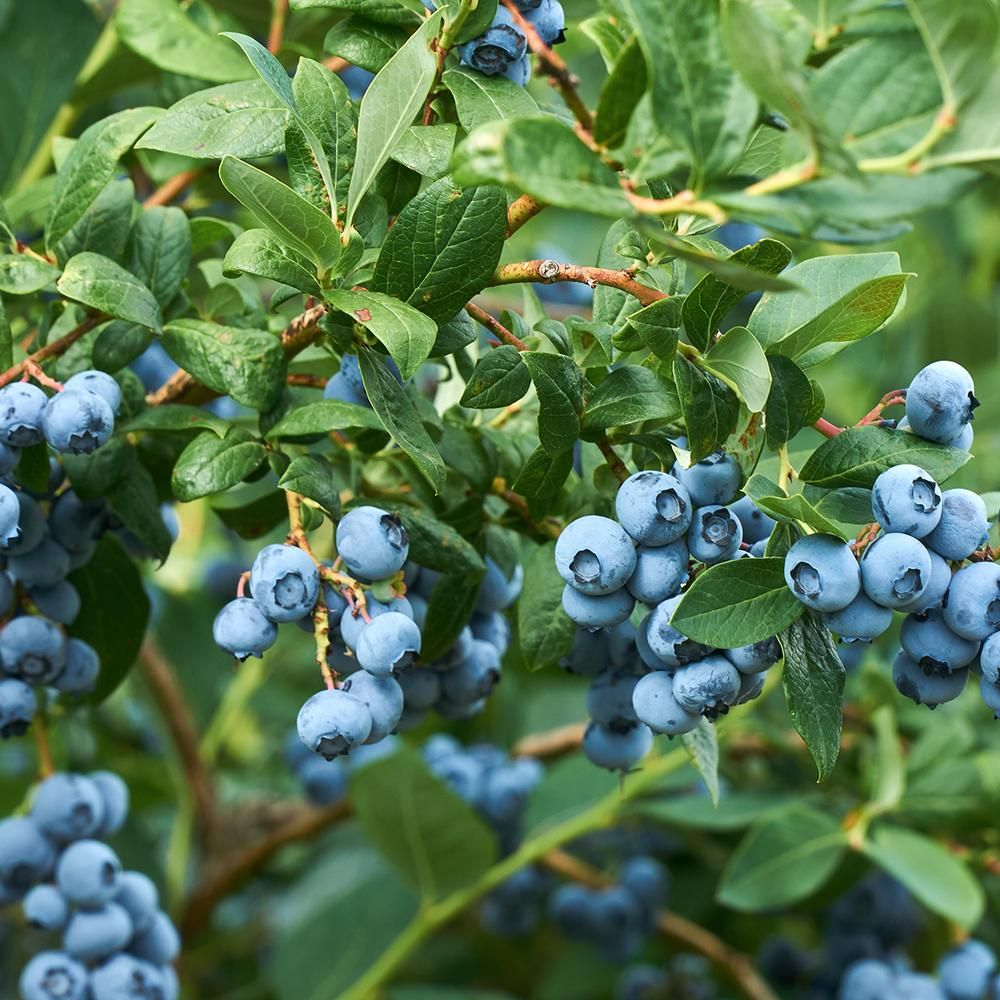 6 Grow Blueberries Garden In 2020 With Images Blueberry