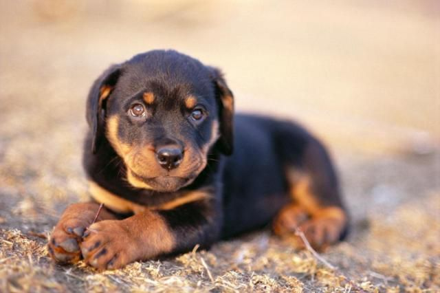 Austrian Black And Tan Hound Austrian Hound Brandl Brakk Austrian Brandlbracke Austrian Hound Puppies Puppy Breath Dog Breeds