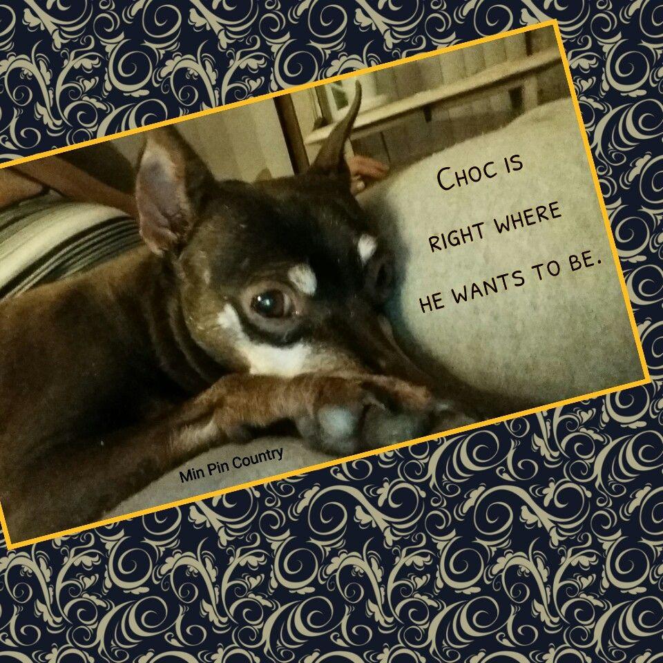 #Choc #MinPin #family #dog #mamasboy #MinPinCountry #theboss #content