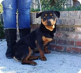 Pin By Meg Eliza On Help Rescue Adopt Pets Rottweiler Mix