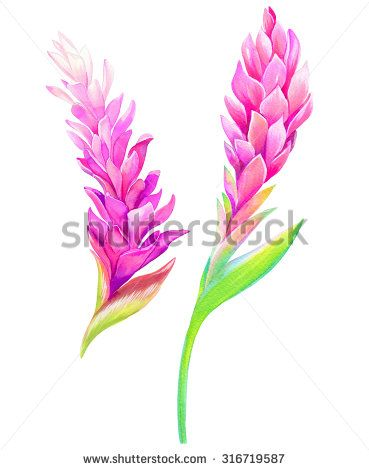Red Ginger Stock Photos Images Pictures Ginger Flower Ginger Plant Flower Illustration