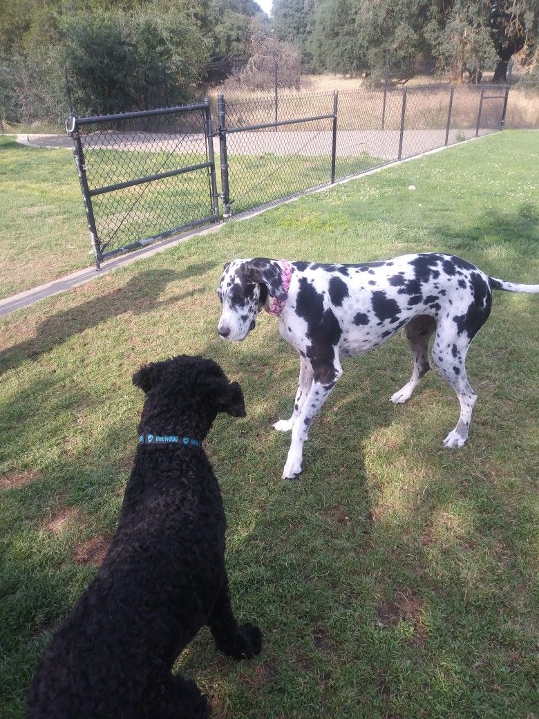 Enzo Playing With Mia The Great Dane Bear Dog Great Dane Dogs