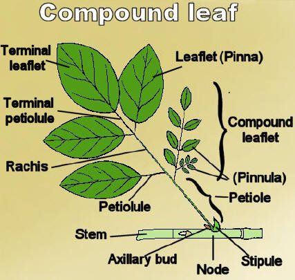 Fig. 3. Compound Leaves (A–F & I–M) and Simple Leaves (G & H). A ...