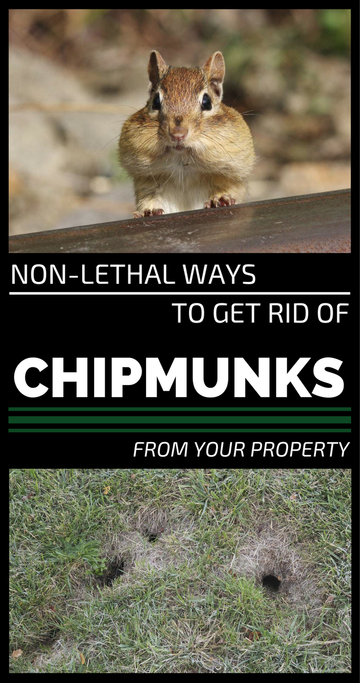 Non Lethal Ways To Get Rid Of Chipmunks From Your Property Gardaholic Net Get Rid Of Chipmunks Get Rid Of Squirrels Chipmunk Repellent
