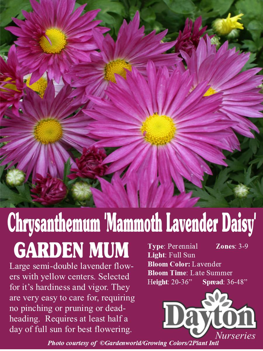 Chrysanthemum Mammoth Lavender Daisy Garden Mum Large Semi