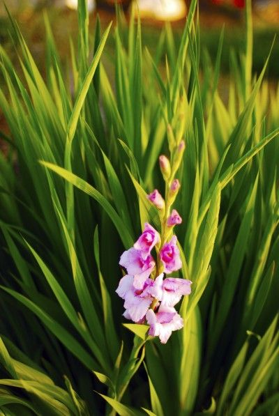 Gladiolus Not Blooming Tips On Getting A Gladiolus Plant To Bloom Gladiolus Flower Gladiolus Bulb Flowers