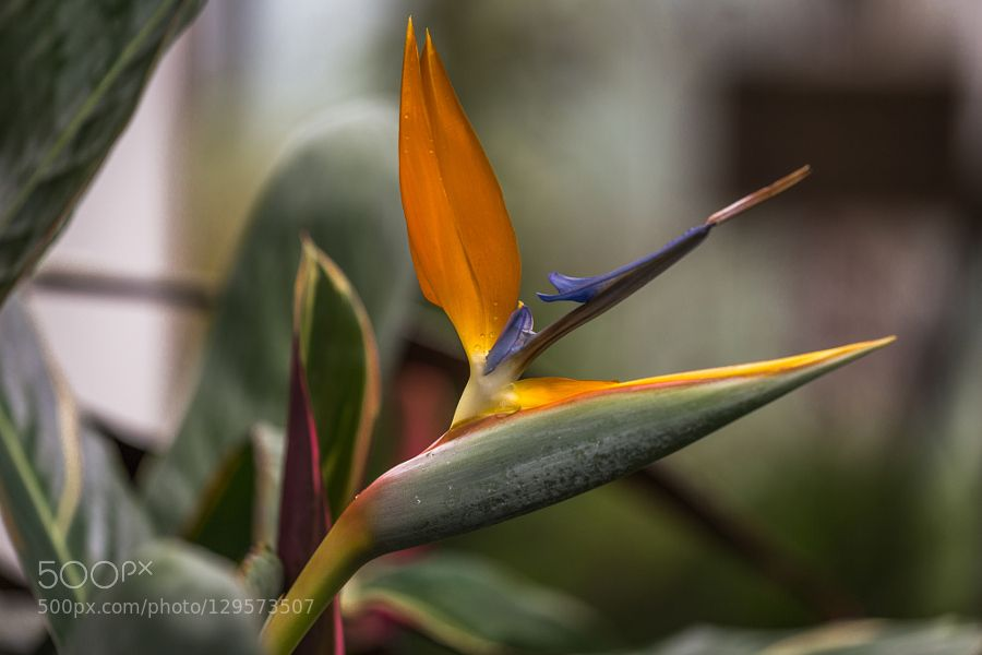 Bird Of Paradise by imoca