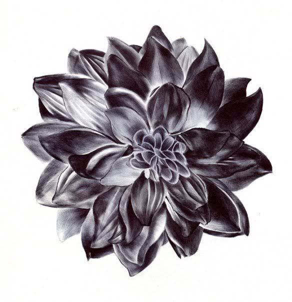 Dahlia drawn with black ballpoint pen by Paul Alexander Thornton    http://www.facebook.com/PaulAlexThornton