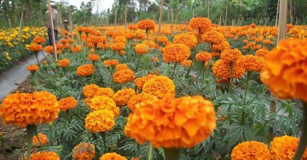 Wisata Kebun Bunga Di Bali