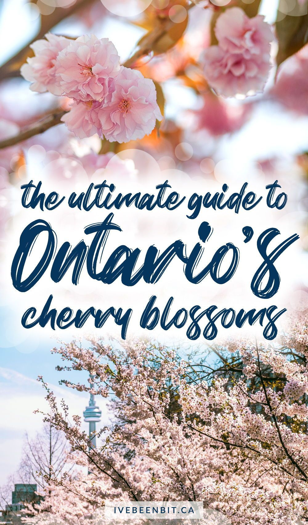 Cherry Blossoms In Ontario The Best Guide For Finding These Flowers I Ve Been Bit A Travel Blog In 2021 Ontario Travel Spring Travel Destinations Canada Travel