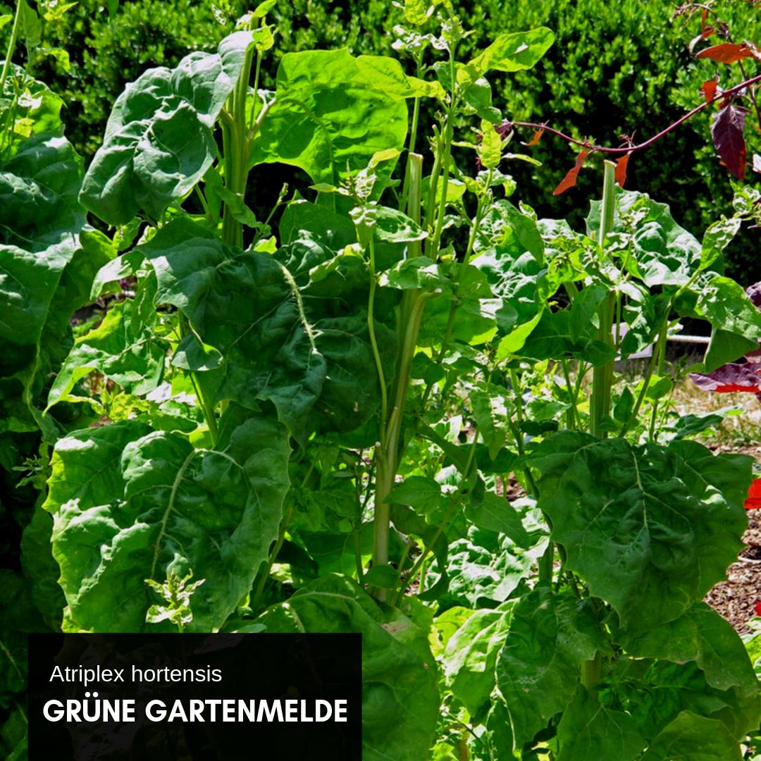 Die Grune Gartenmelde Atriplex Hortensis Ist Ein Altes Blattgemuse Sozusagen Eine Gemuseraritat Die Wiederentdeckt Wurde Ihre Ju Garten Saatgut Bio Saatgut