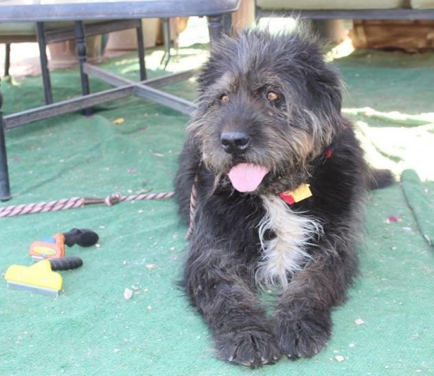 Tibetan Terrier dog for Adoption in Lake Forest, CA. ADN