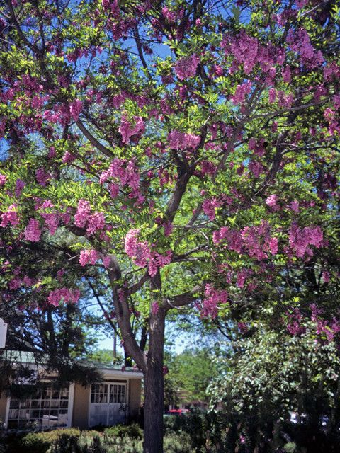 Apologise, but, mature height purple robe robinia consider, that