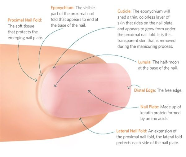NAIL ANATOMY – Different Parts of the Fingernail   * Ask Ana ...