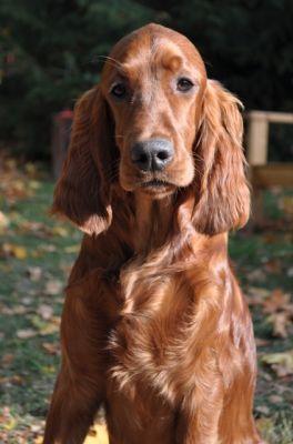 Rutan ~ Irish Setter Pup ~ Classic Look