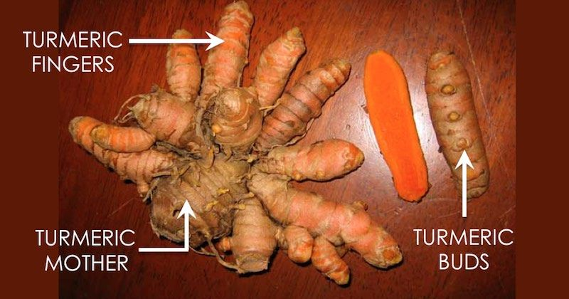 Turmeric Fresh Roots sustainably grown Health or to Grow