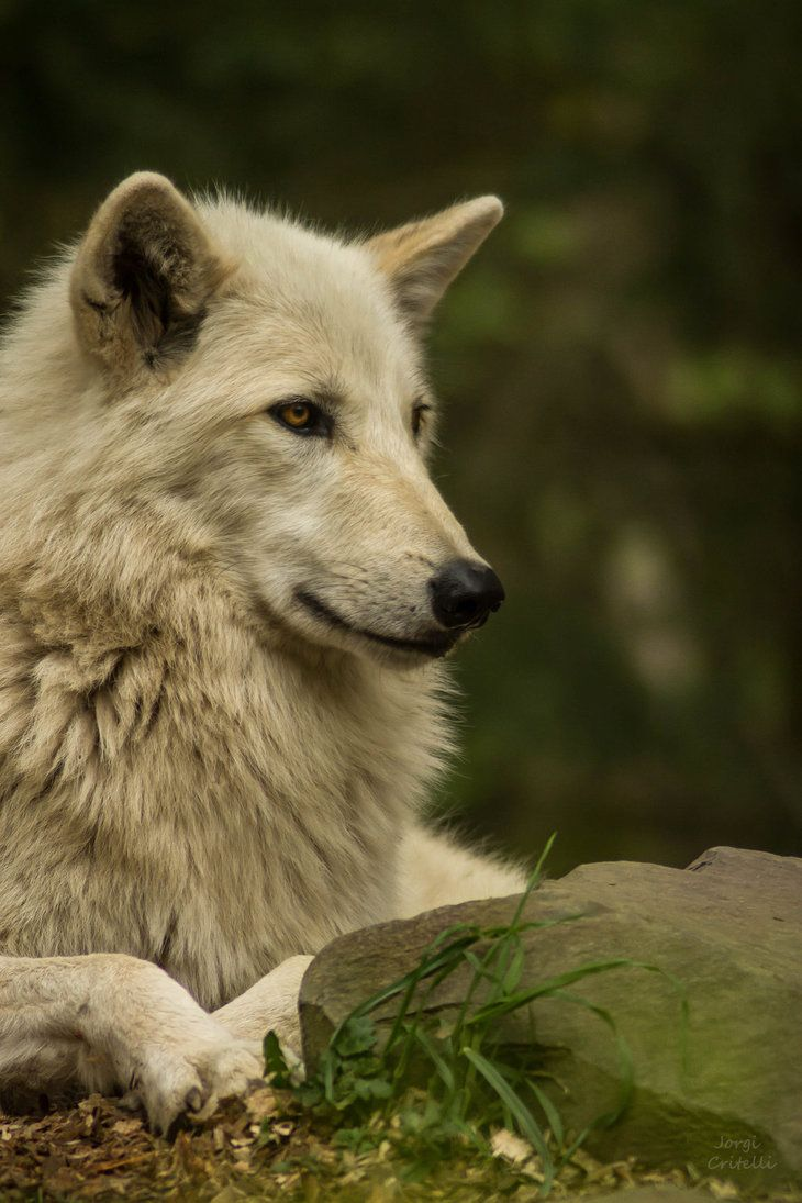 Beautiful White Wolf by littlenightmare93 Wolves Wolf