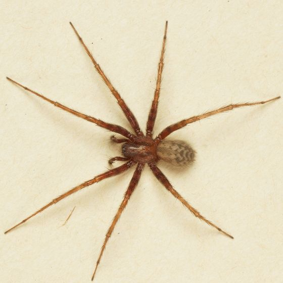 The Common House Spider Is Harmless And Feeds On A Lot Of Household Pest Insects So Can Be Considered Beneficial House Spider Common House Spiders Spider