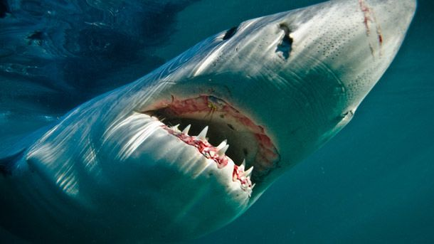 Male or female, Narcissists are the quintessential sharks. Self-confidence and charm make them highly appealing in the early stages of attraction. Their need for power and autonomy leads them to shun commitment—and to cheat. Romantic relationships become just another way for them to pump up their own self-image.