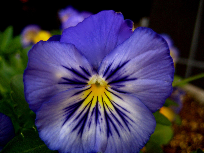 Pansy File Viola Pansy 4 Jpg Wikimedia Commons Pansies Flowers Flower Seeds Pansies
