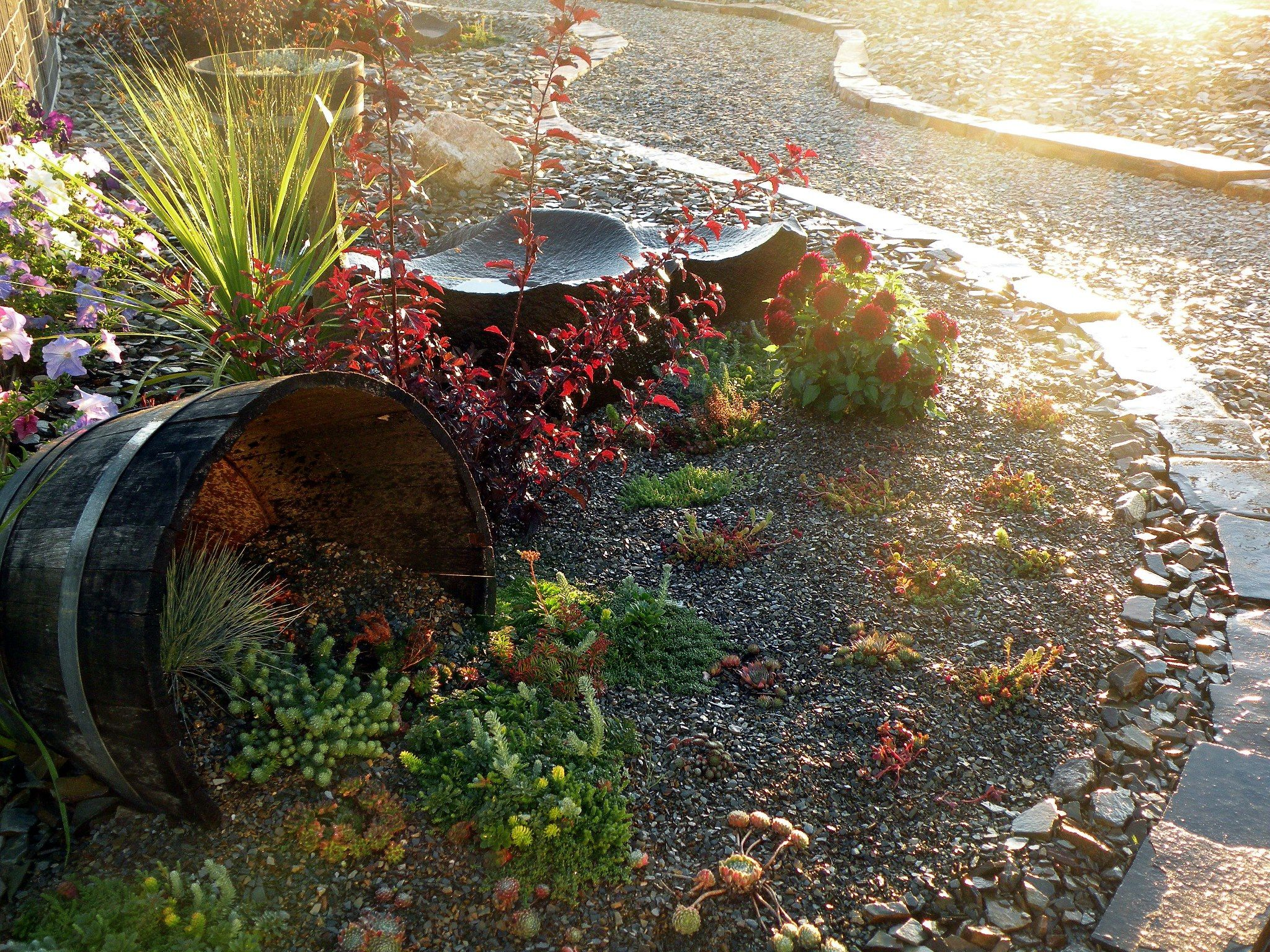 Maroon Dahliau0027s In Our WoodStone Rock Garden. Decorative ...