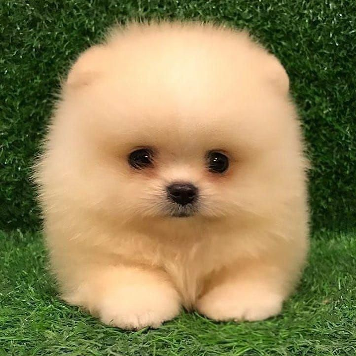 Male Pomeranian Puppy for sale. | London, South West Virginia