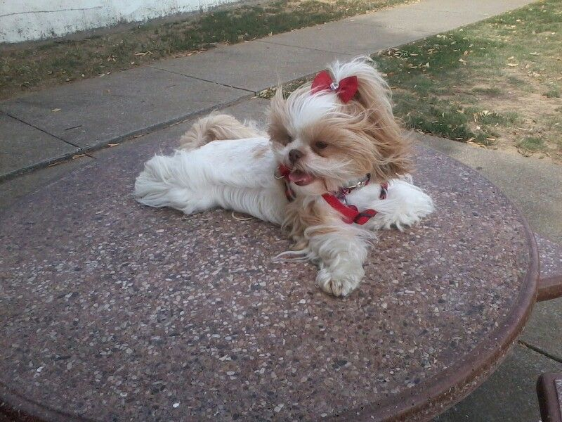 Bella On A Windy Day At Our Riverfront In Paducah Ky Shih Poo Dogs Animals
