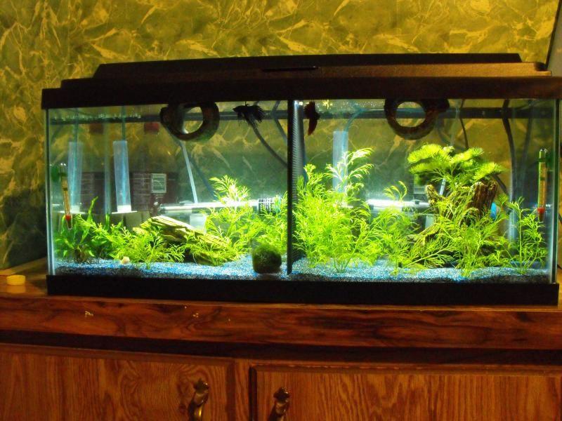 Betta Than A Bowl Betta Fish Aquariums Betta Tank Inspiration Betta Tank 20 Gallon Long Aquarium Betta Fish
