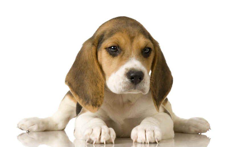 Awh.... Beagle pup!! I Miss having them