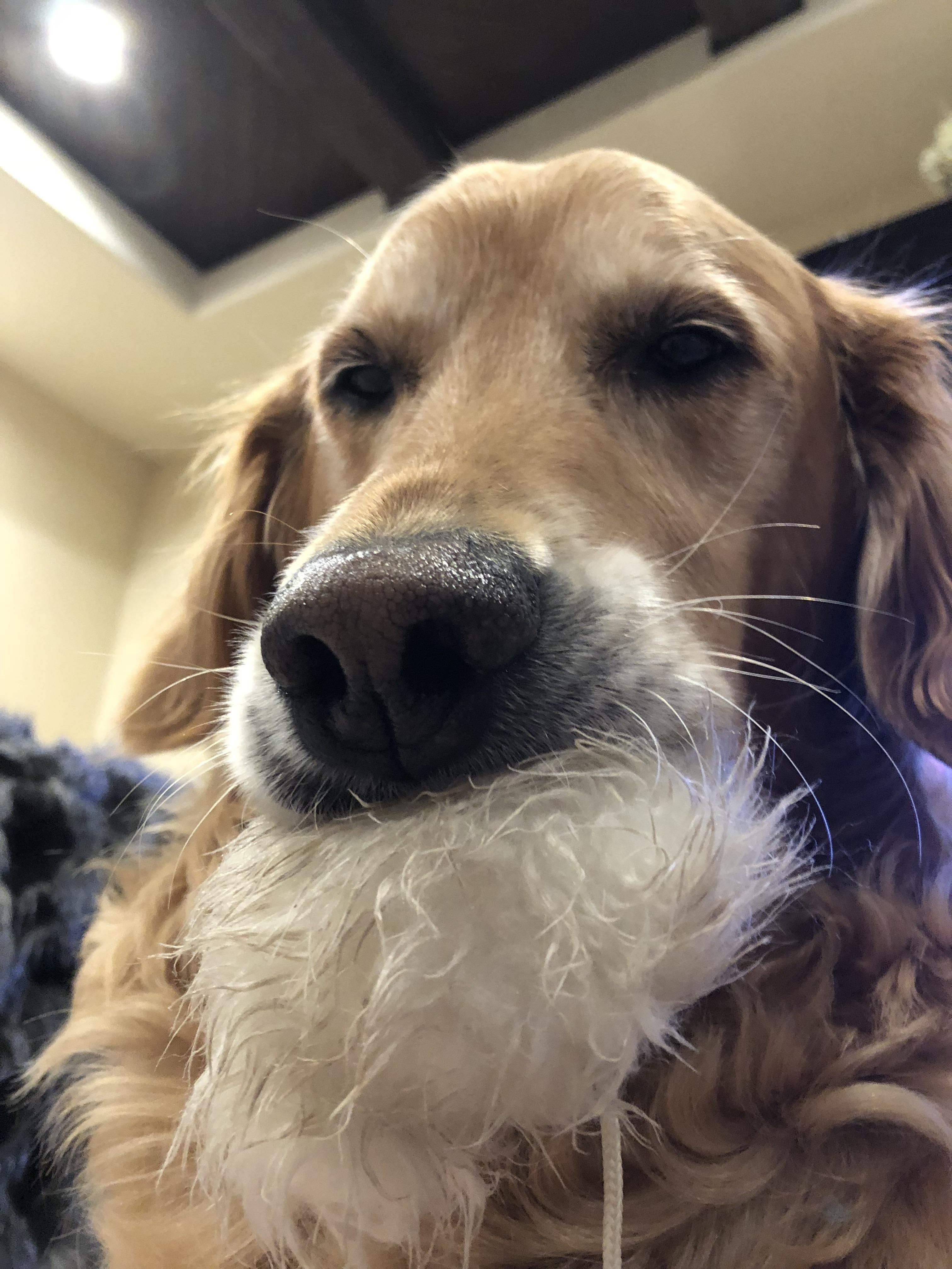 Her Favorite Toy Isnt A Toy Its The Top A Santa Hat Follow Dog All Over S Board Golden Retrievers On Pinterest See More Ideas About G Cute Dogs