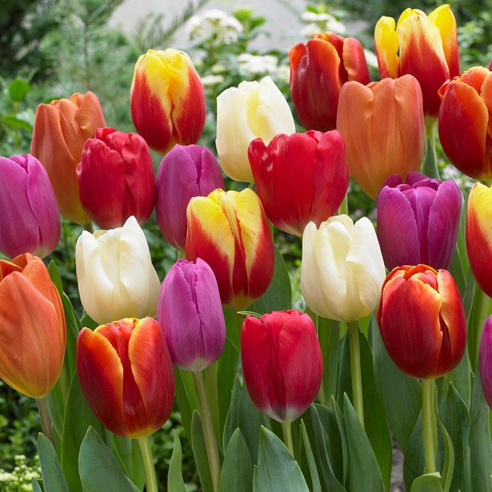 Van Zyverden Tulips Bulbs Triumph Mixture Set Of 100 Landscaping