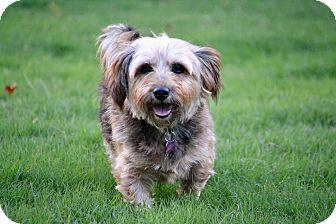 Staunton, VA Yorkie, Yorkshire Terrier/Shih Tzu Mix