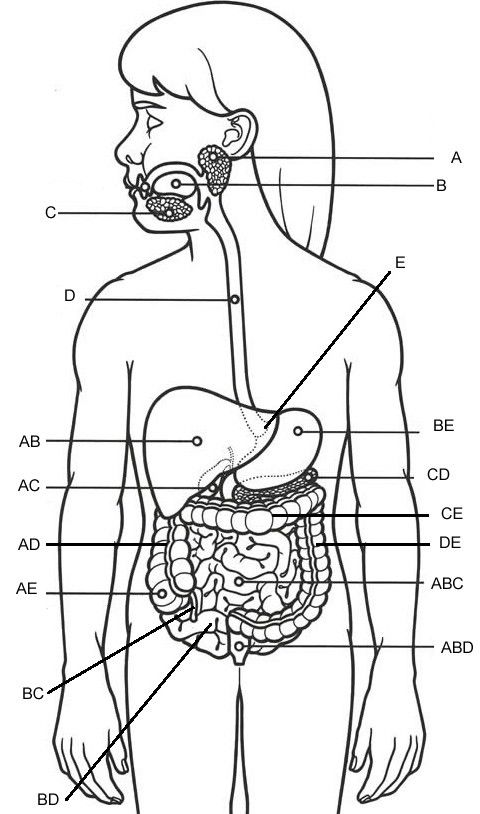 Digestive System Diagram No Labels Lovely 11 Best Of Parts