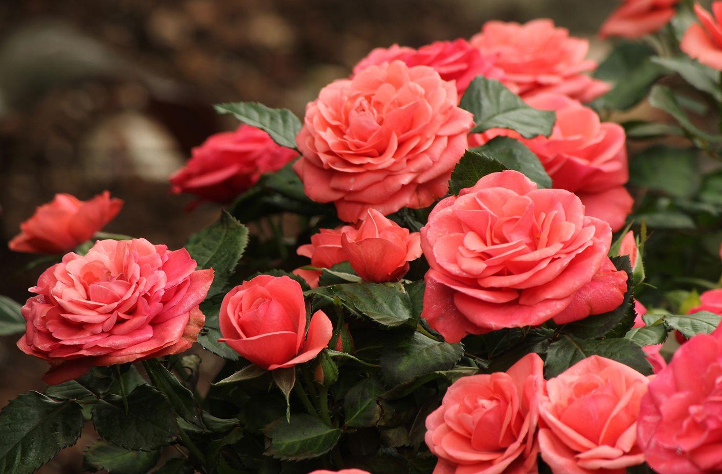 Rocket Farms mini roses Rose, Orange roses, Beautiful