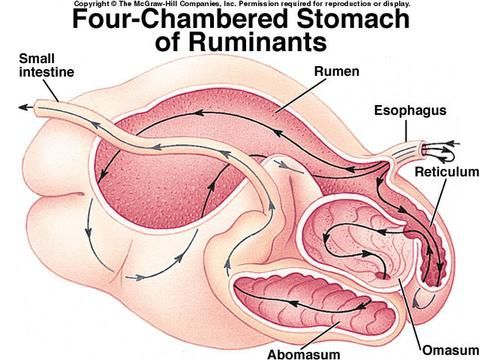 ruminant stomach veterinary studies, veterinary medicine, cow digestive  system, cow information, cow