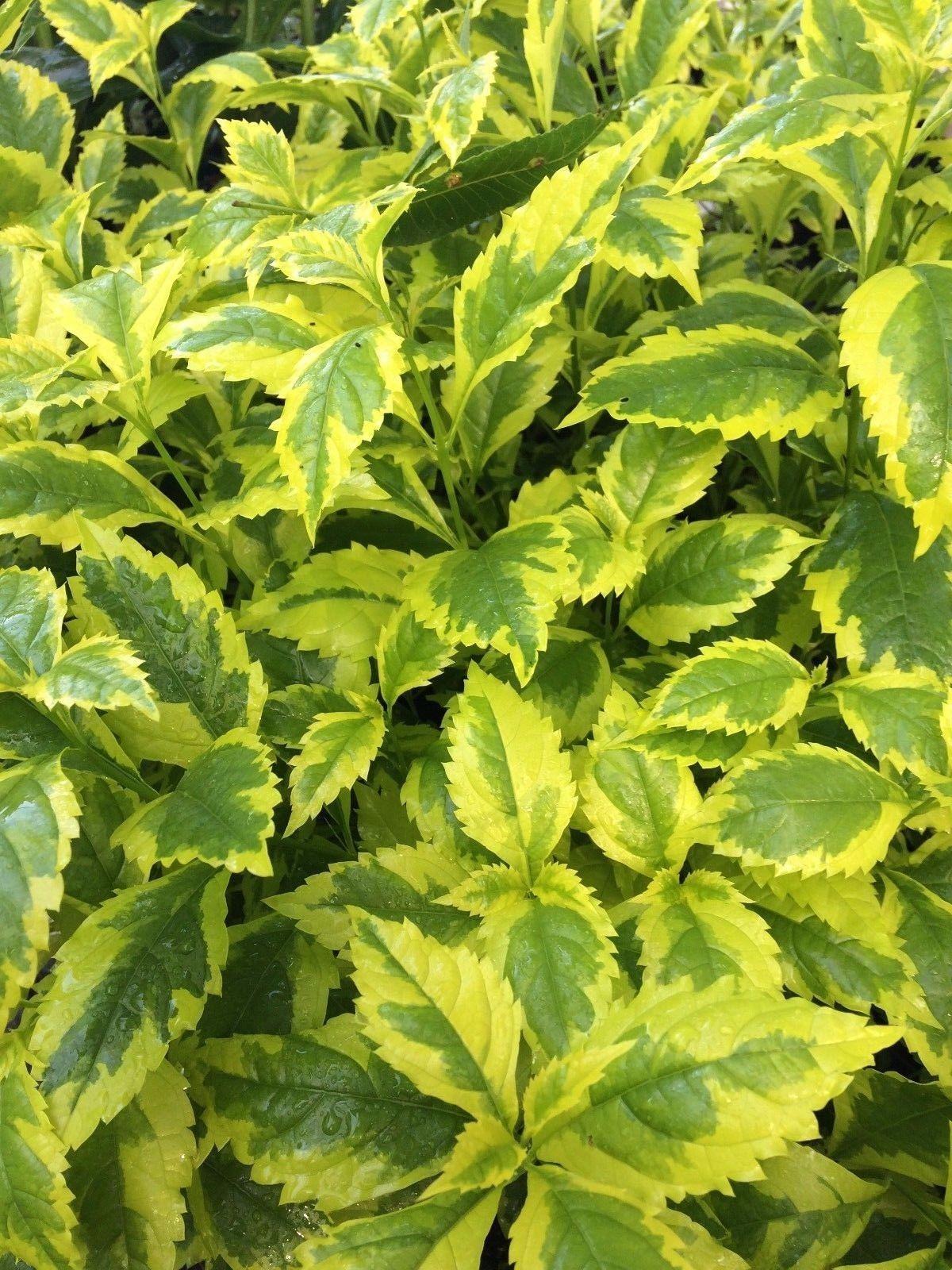 Duranta Erecta Golden Dew Drop Pint Plant Free Ship Dew