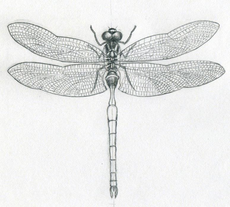 how to draw a easy dragonfly step by step