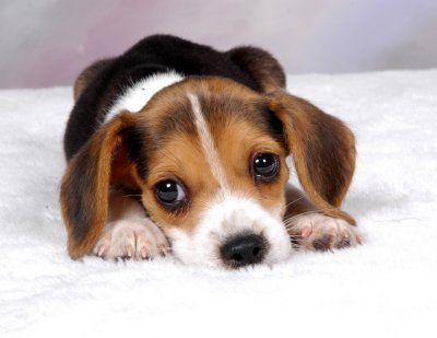a beagle pup.