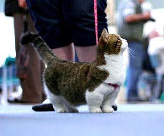 Mengenal Kucing Persia Jual Kucing Munchkin Murah Harga Kucing Munchkin British Shorthair Persia Peaknose Anggora Ragdoll Kucing Munchkin Kucing Binatang Lucu