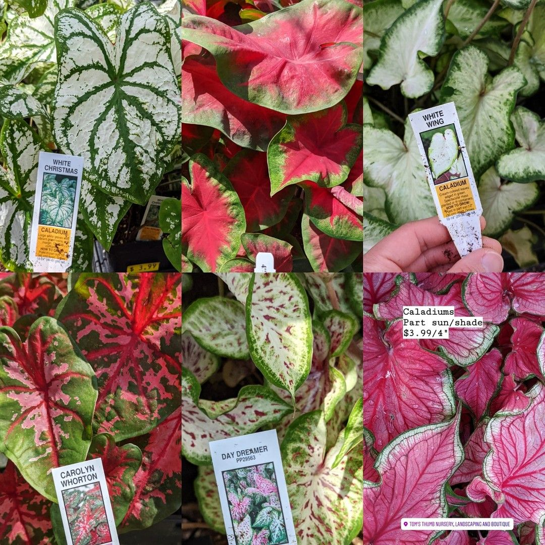 We're having a Caladium Sale, y'all. You can get a Flat of
