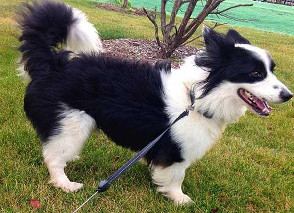 Introducing The Borgi An Adorable Loving Border Collie Corgi Mix How To Train Your Dog Border Collie Corgi Mix Corgi Mix Corgi Mix Puppies