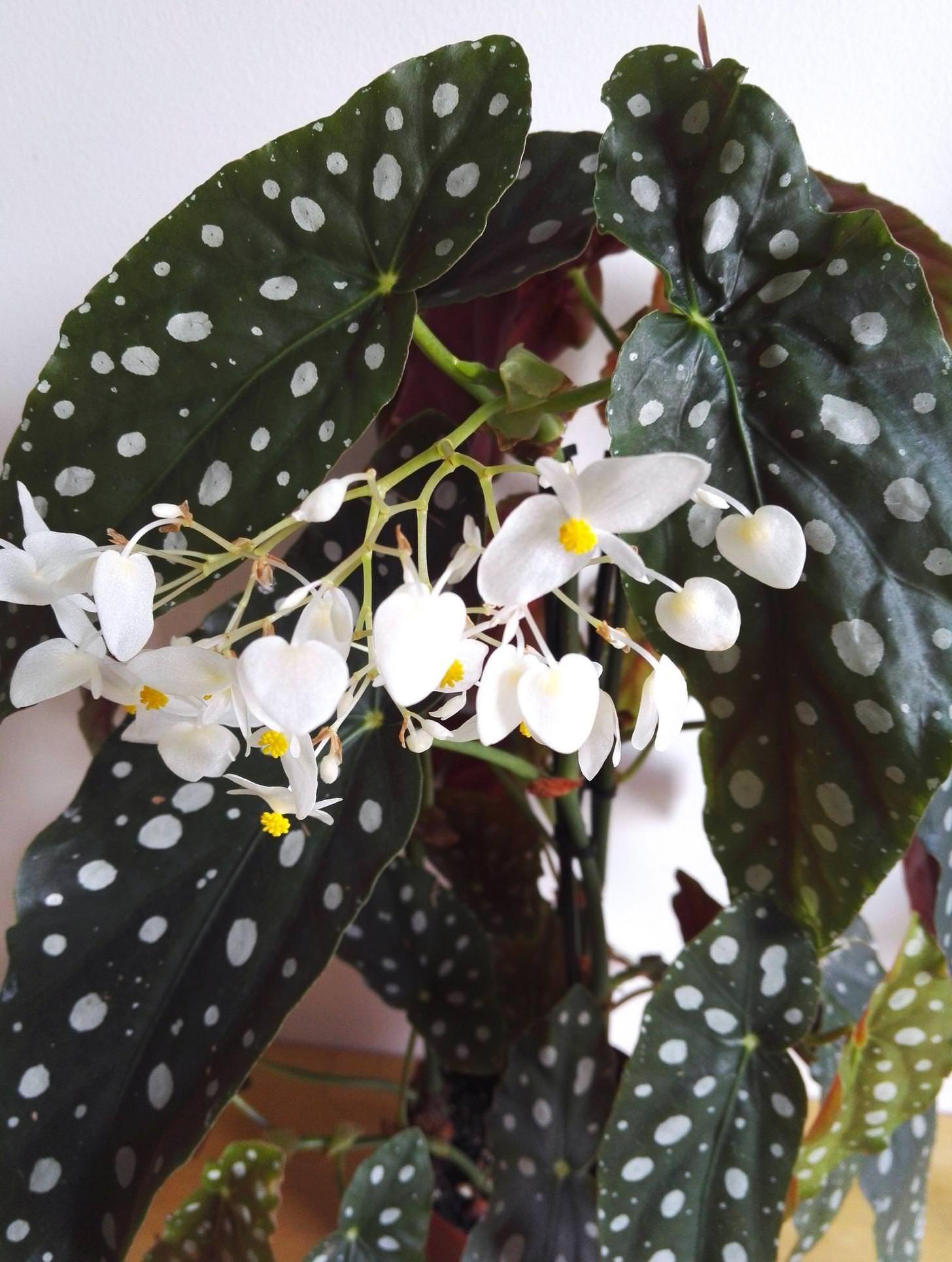 Begonia Maculata Wightii Begonia Maculata Primrose Plant Plants