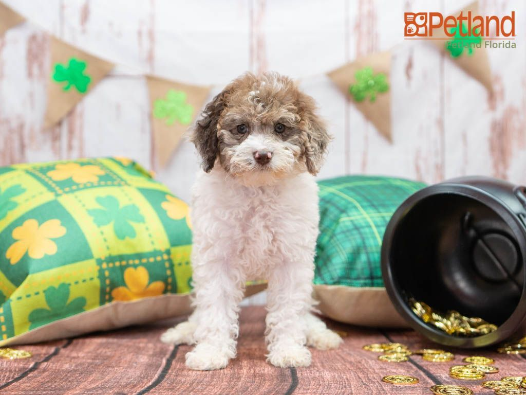 Puppies For Sale Poodle Puppies For Sale Poodle Puppies For Sale