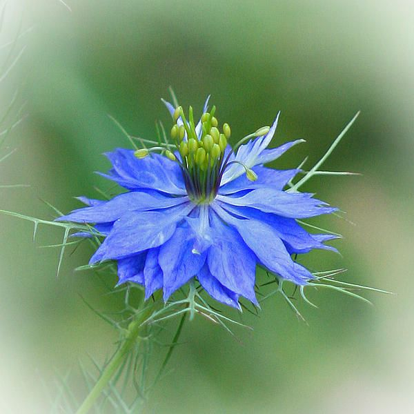 Love In A Mist Flower By Karen Adams In 2020 Mists Springtime Photography Wildflowers Photography