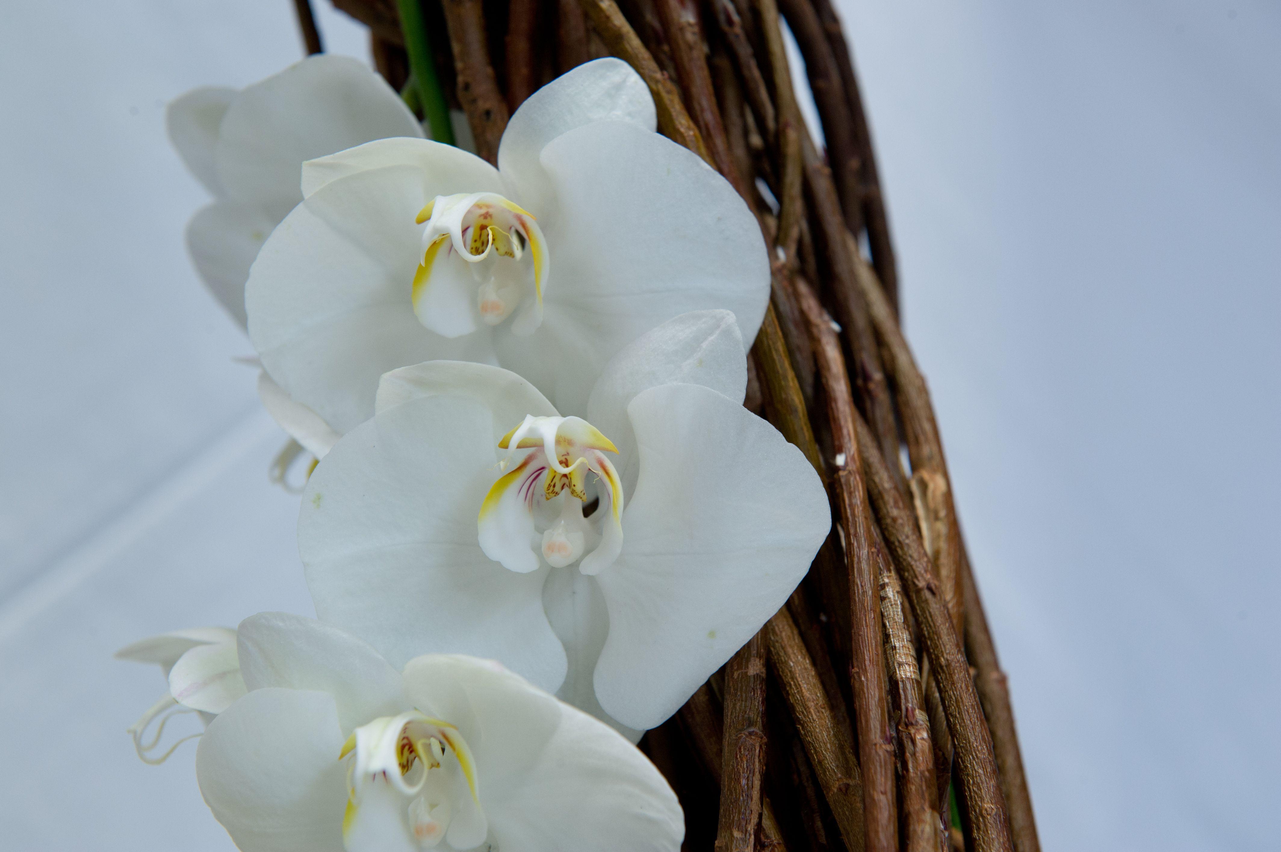Phalaenopsis su struttura