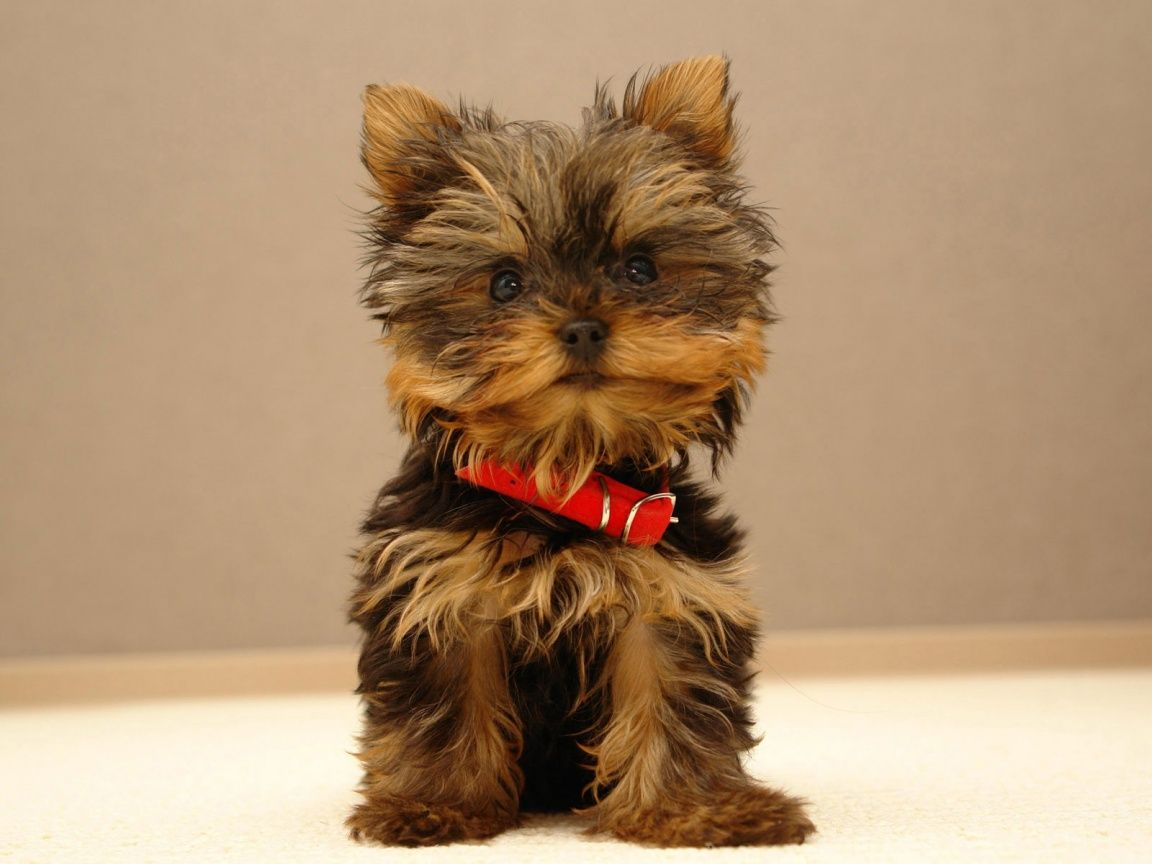 Yorkshire Terrier Yorkshire Terrier The Dogs Breeds With Images Cute Small Dogs Cutest Small Dog Breeds Cute Puppy Wallpaper