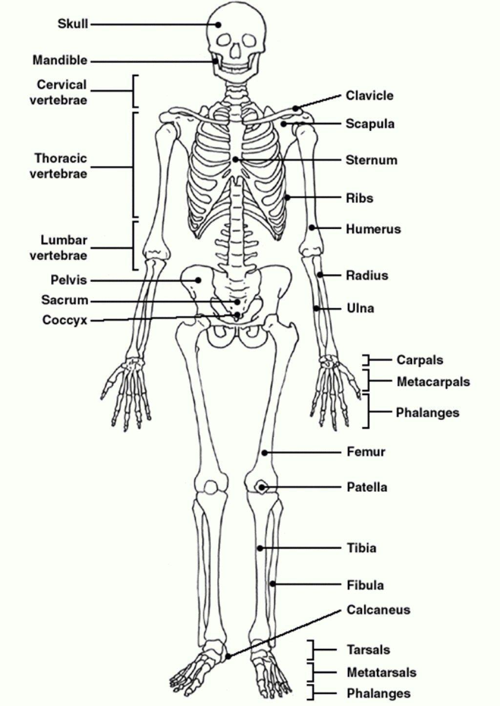 Human Skeleton Diagram With Labels Koibana Info Human Skeletal System Skeletal System Worksheet Skeletal System Anatomy