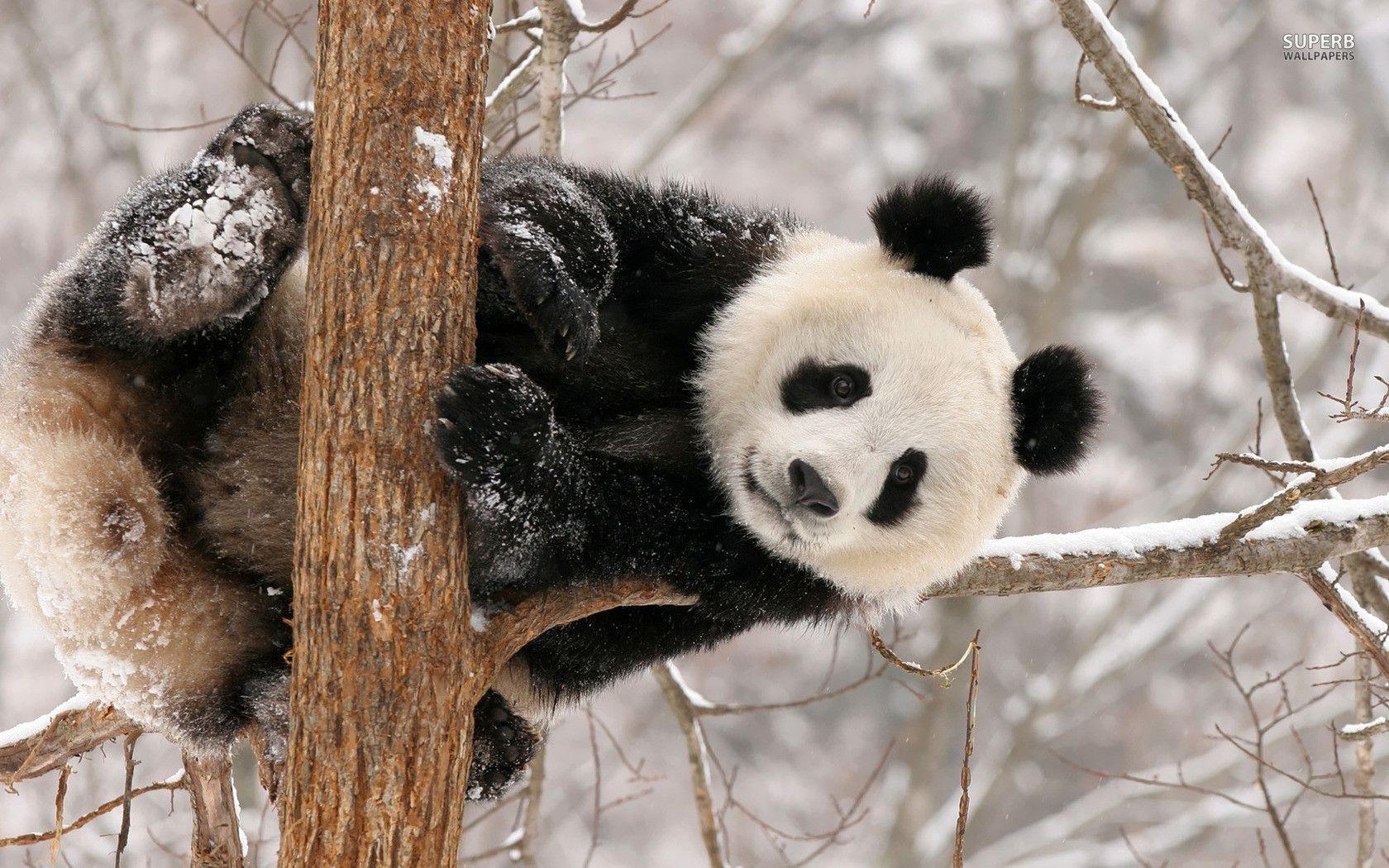 Panda Bear Wallpaper Www Wallpaper Free Download Com Panda Bear Panda Bears Wallpaper Panda