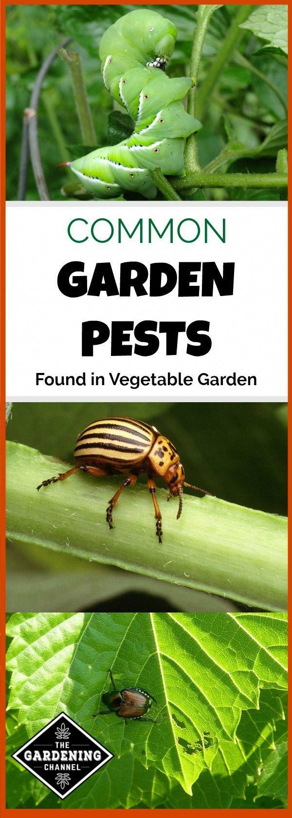 Common Garden Pests Found in the Vegetable Garden Garden